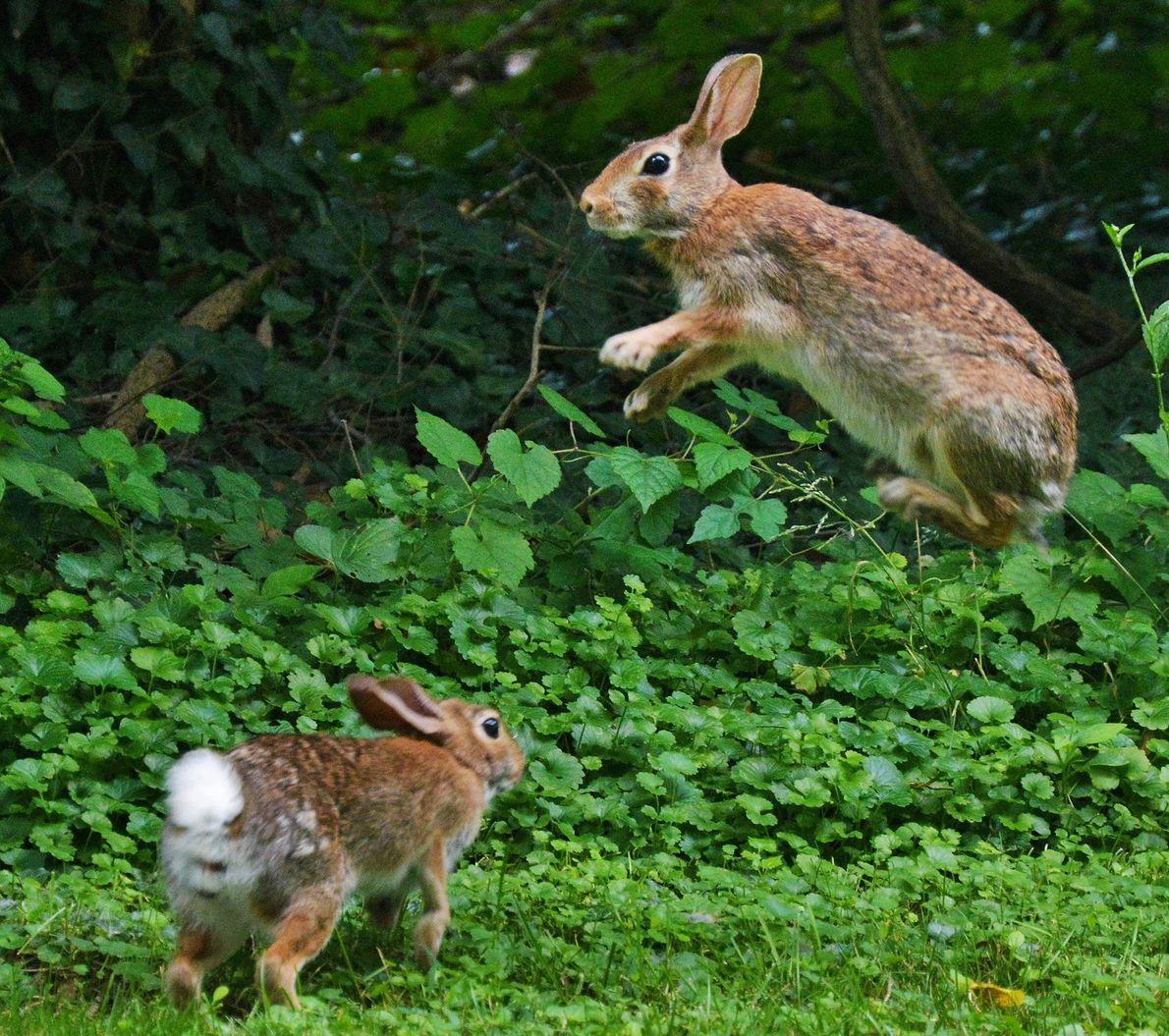 Dois coelhos jovens brincam sobre a vegetação