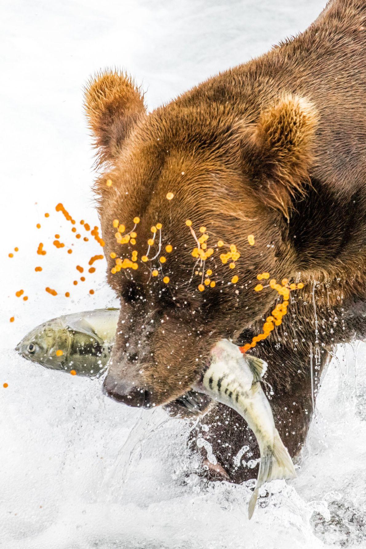 Ursos-pardos do Alasca e os salmões-cão