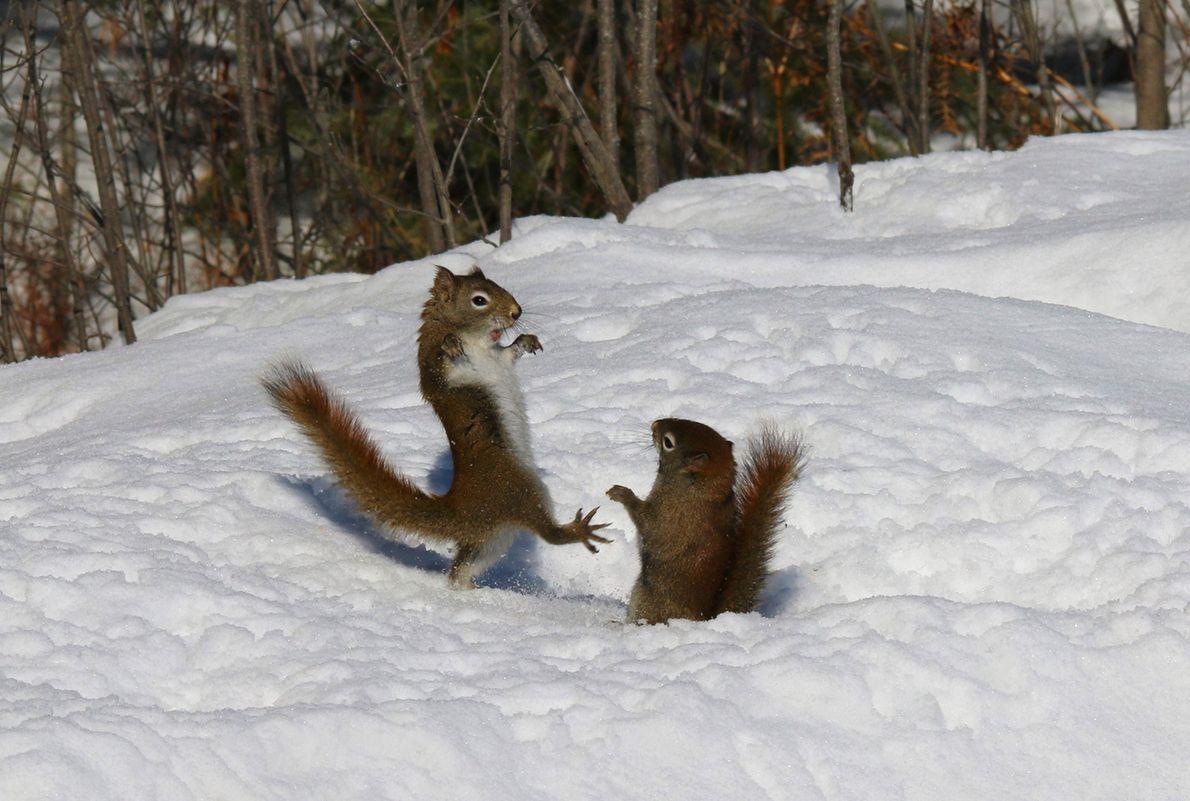 Esquilos-vermelhos discutem em Ontário.