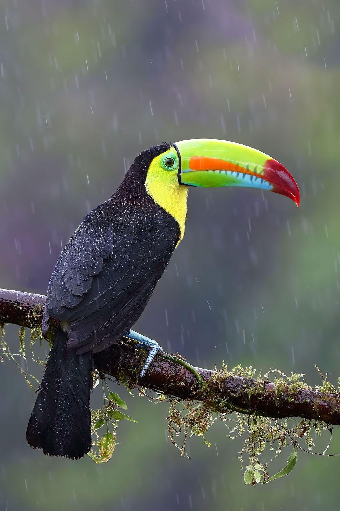 Tucano-bico-de-arco-íris. Costa Rica.