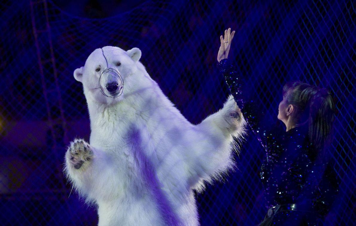 No Circo de Gelo, em Kazan, na Rússia, um urso-polar dança atrás de uma rede.