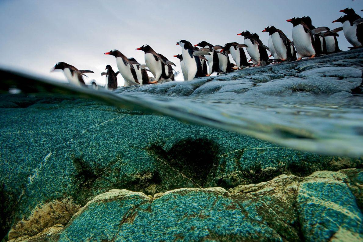 Pinguins-gentoo alinham-se e mergulham