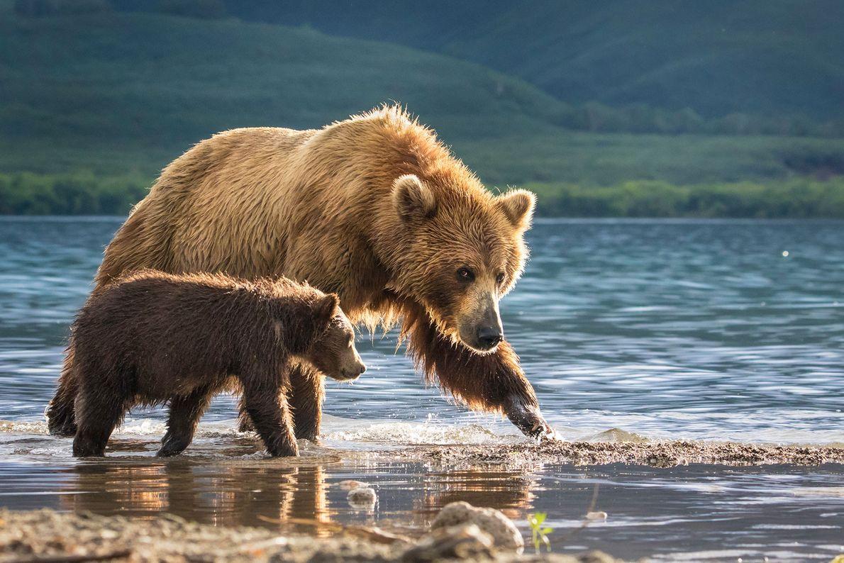 Urso-pardo-de-kamchatka e cria. Dal'niy, Kamchatka, Rússia