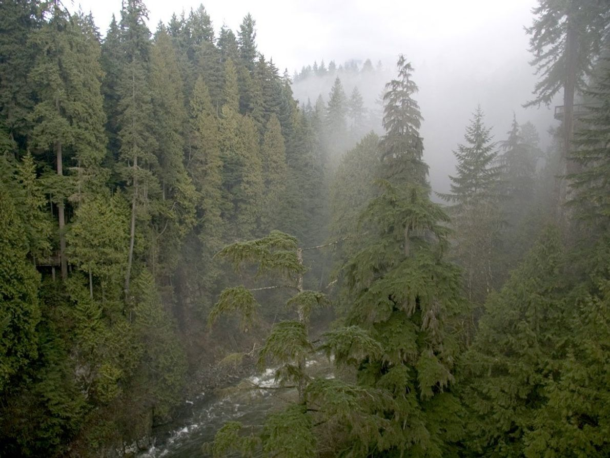 Uma névoa envolve o cimo de coníferas gigantes, que povoam as florestas tropicais situadas na zona ...