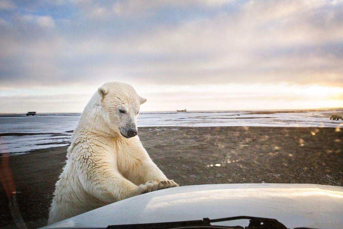 Um urso-polar adolescente curioso investiga a carrinha do fotógrafo, em Kaktovik, uma aldeia Inupiat indígena no ...
