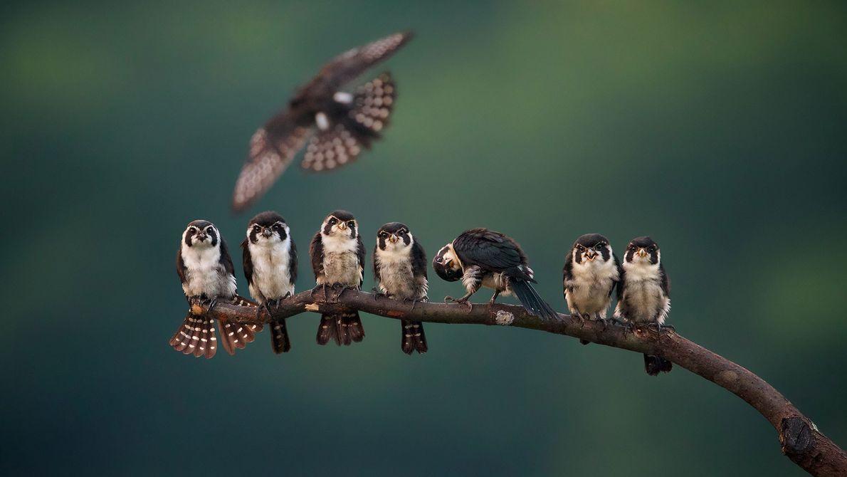 Falconetes-alvinegros. Wuyuan, Jiangxi, China