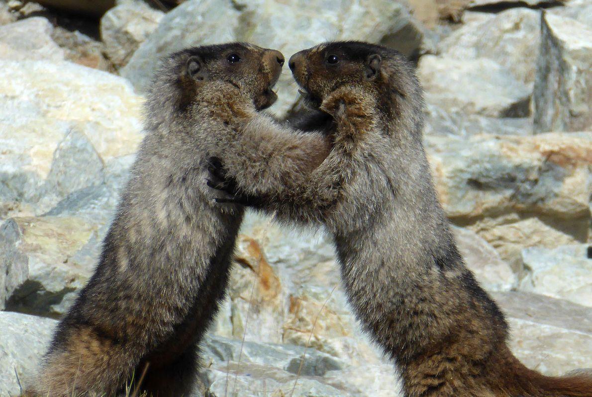 Marmotas lutam no Canadá.