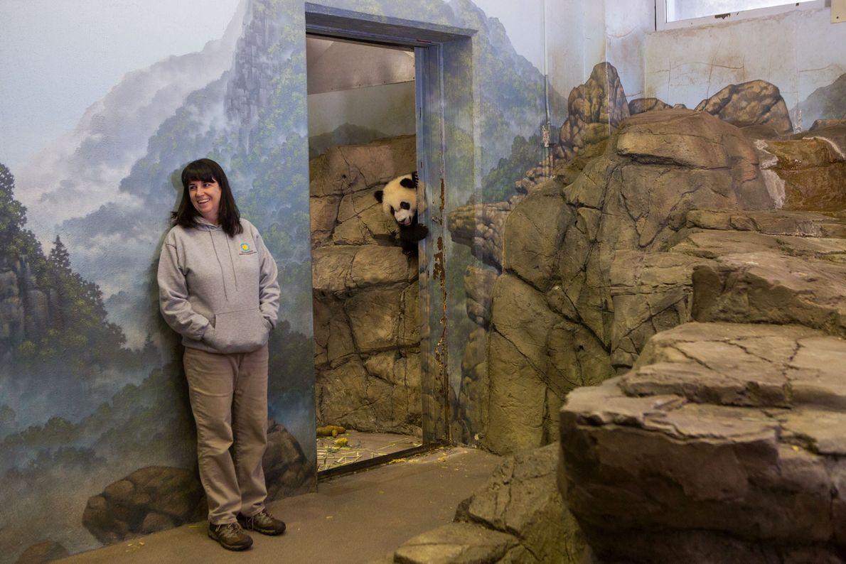 No Zoo Nacional Smithsonian, em Washington, Bei Bei, um panda-gigante, espreita pela porta do seu recinto. ...