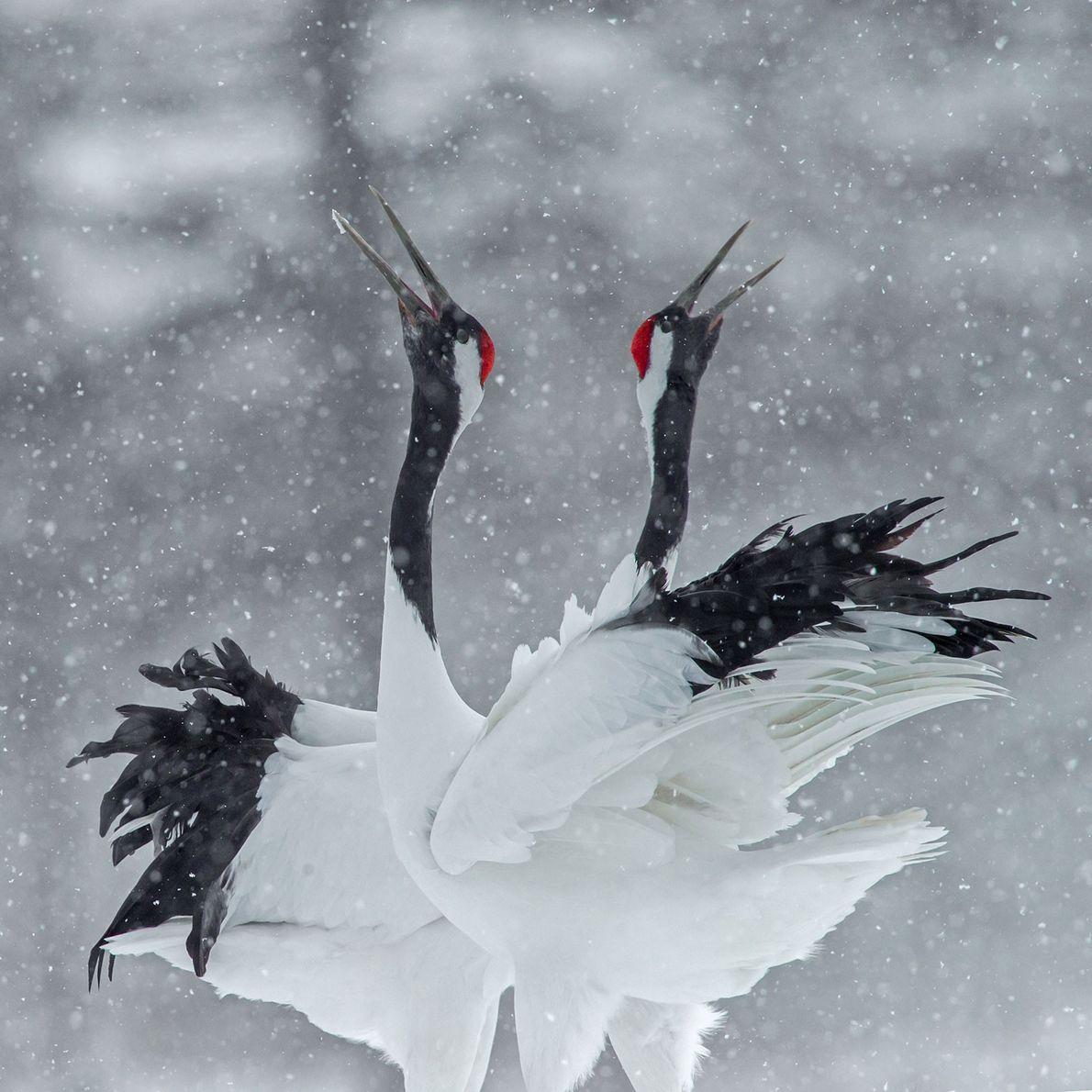 Grous-de-coroa-vermelha. Kushiro, Hokkaido, Japão