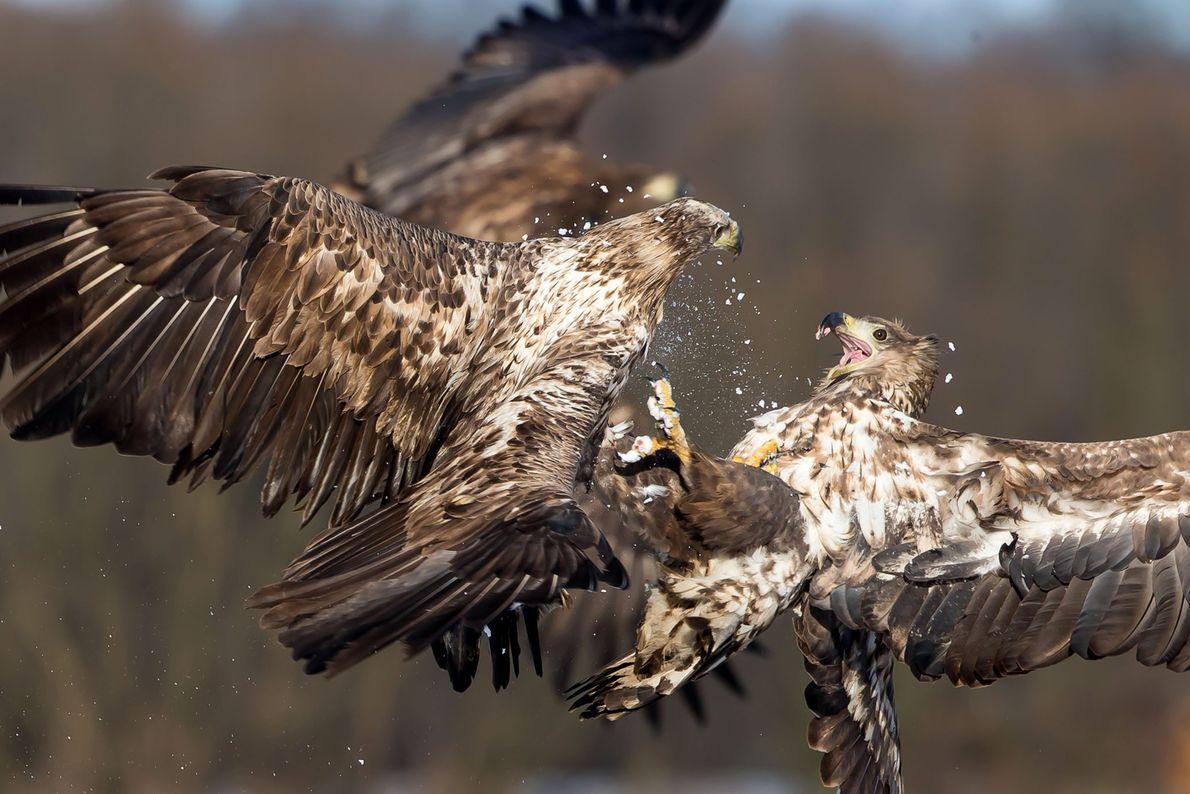 Águias-rabalvas lutam em pleno voo.