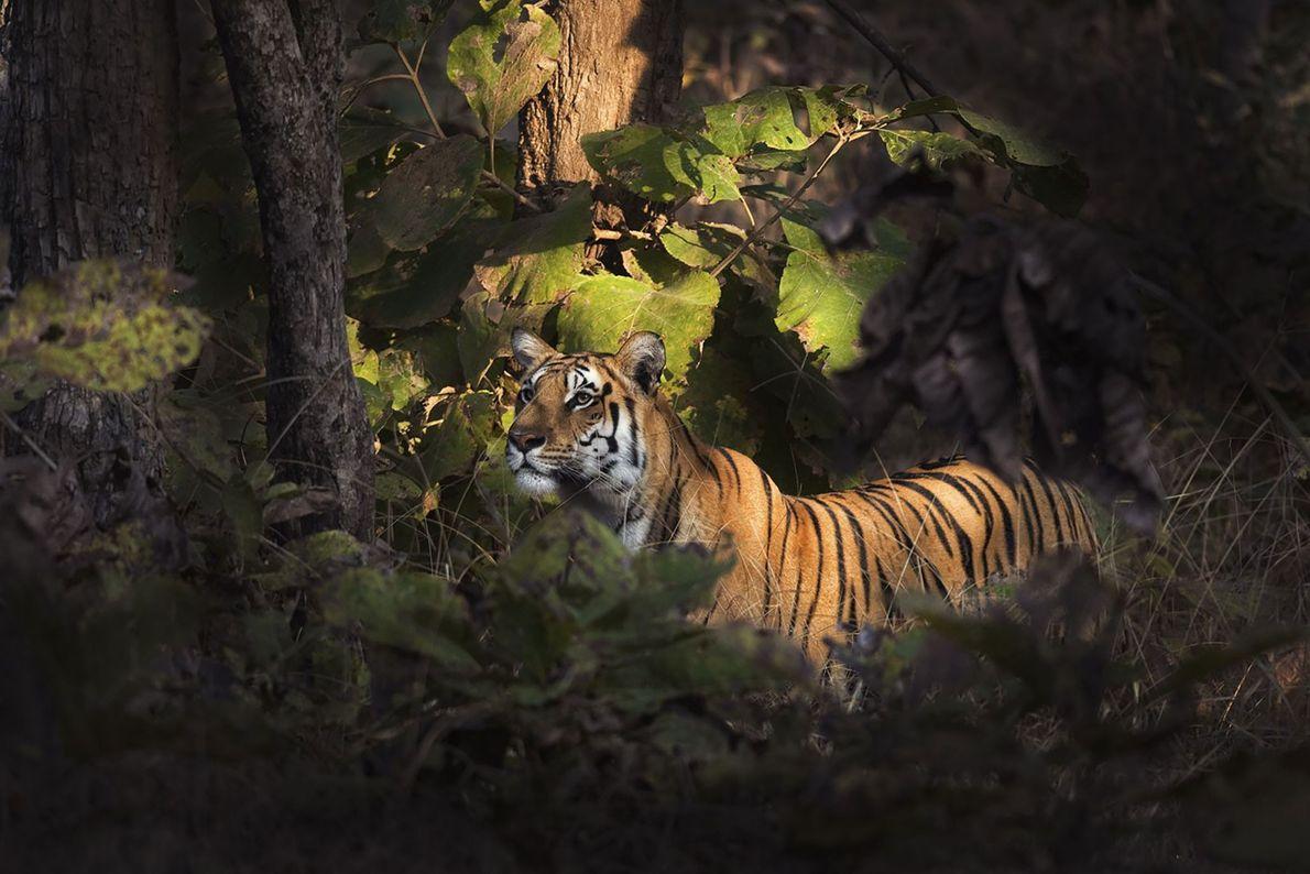 Tigre. Gumtara, Madhya Pradesh, Índia.