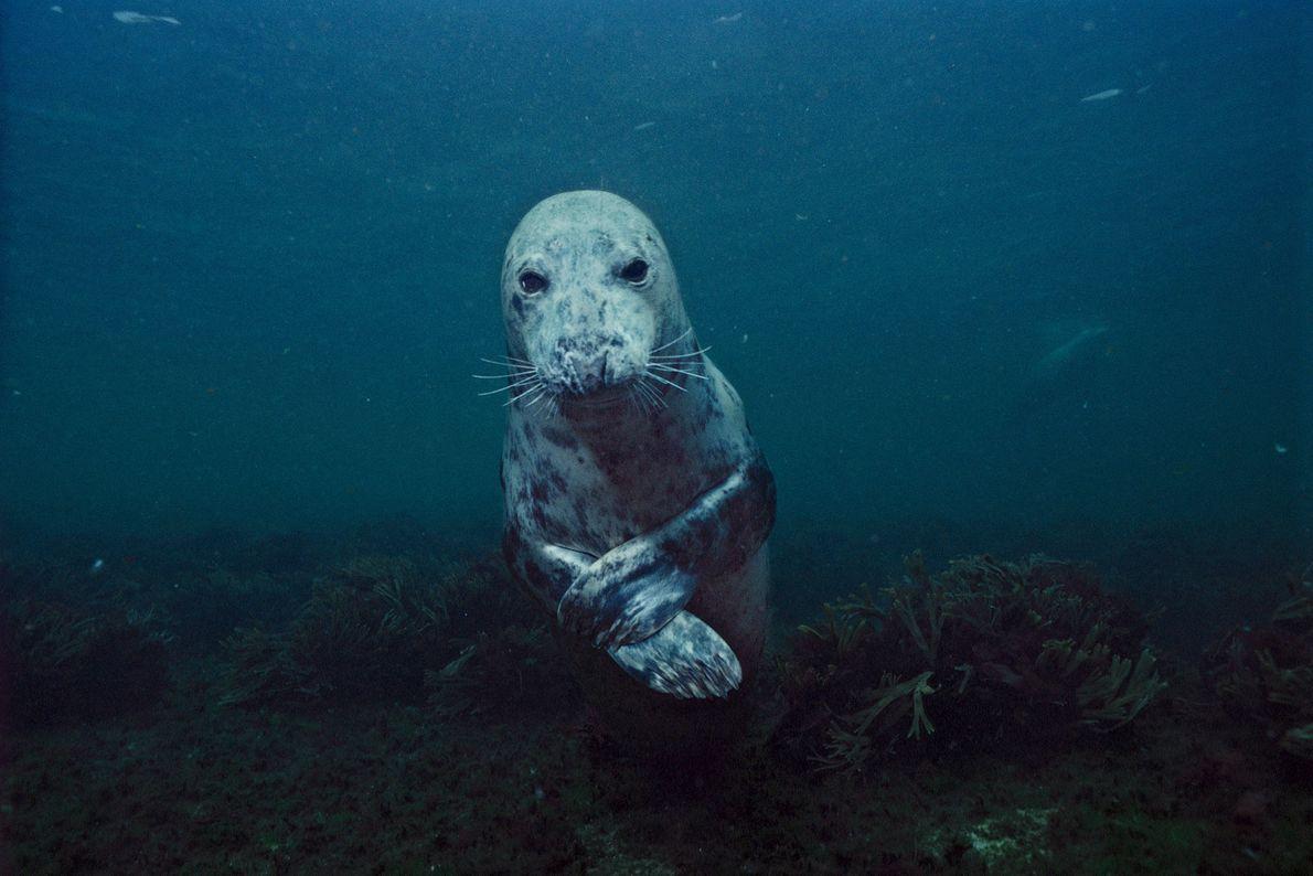 Uma foca-cinzenta cruza as suas barbatanas no Golfo do Maine.