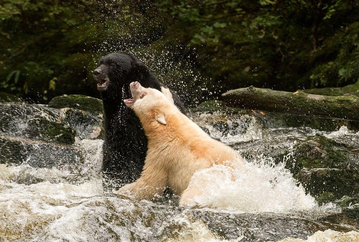 Um urso-negro (à esquerda) e um urso-de-kermode guerreiam na Colúmbia Britânica.