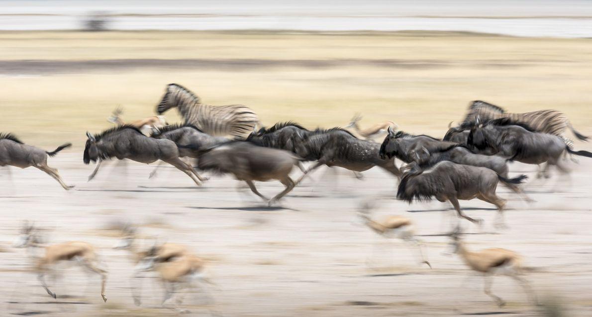 Gnus, cabras-de-leque e zebras