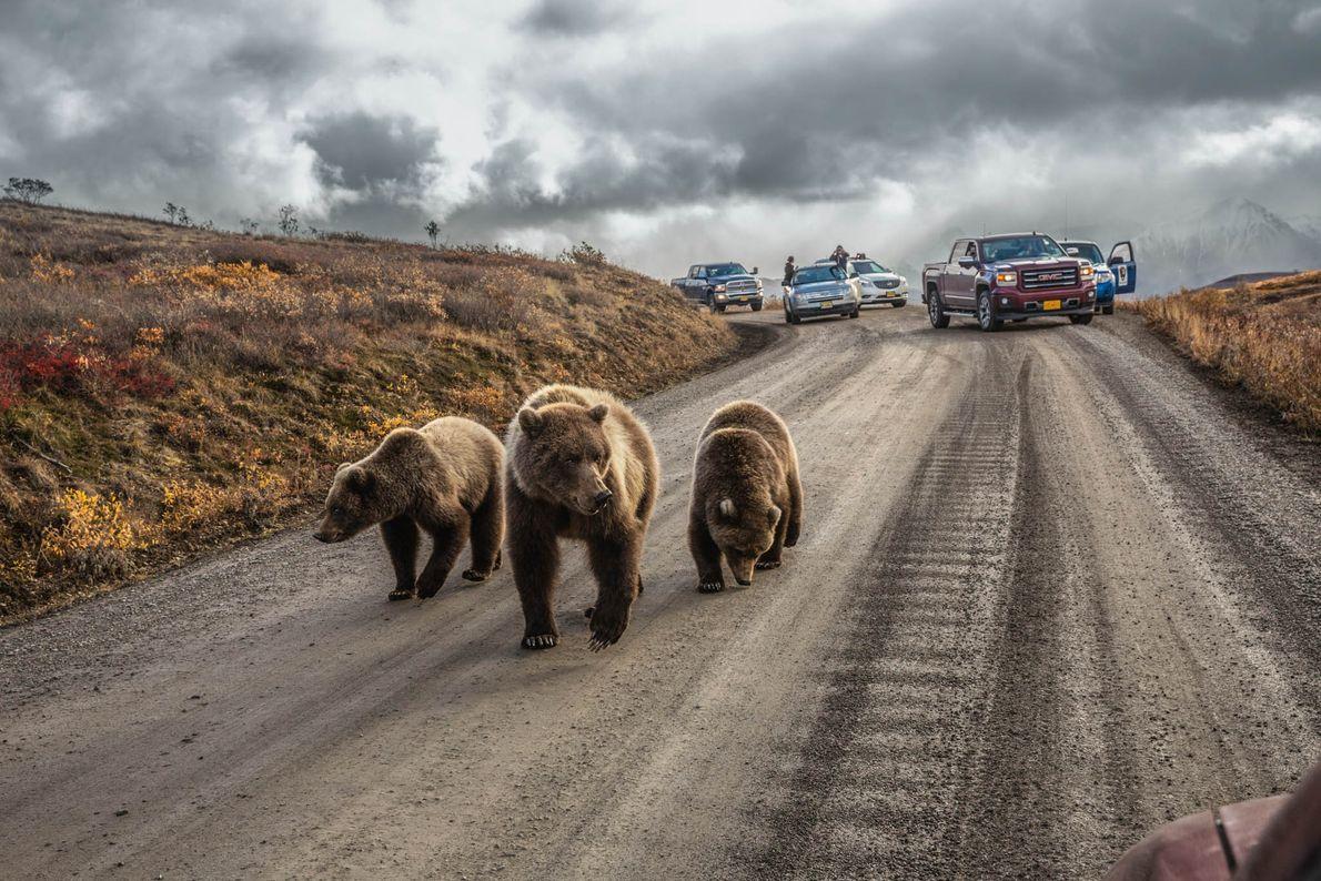 Uma mãe ursa e as suas crias param o trânsito