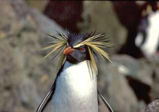 Pinnamins, espécie de pinguins presentes na Ilha Tristão da Cunha.