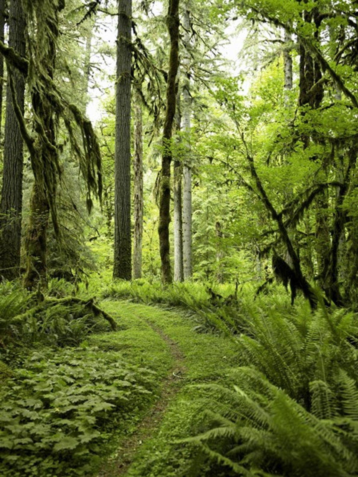 Árvores coníferas cobertas de musgo e fetos povoam Quinault, uma floresta tropical do Pacífico, que integra ...