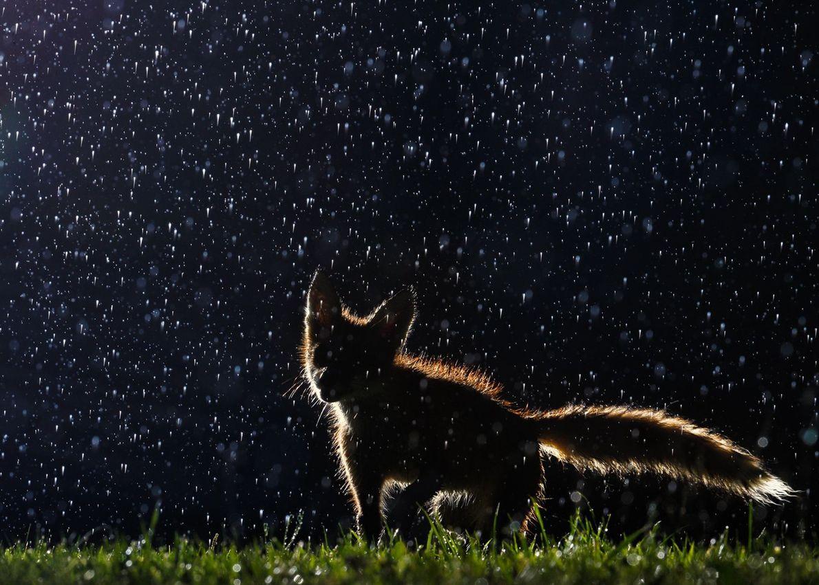 Raposa debaixo de chuva