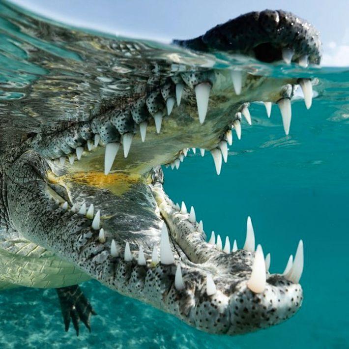"""Com quase 3 metros de comprimento, este crocodilo não tem problemas de confiança"""", escreve o fotógrafo ..."""