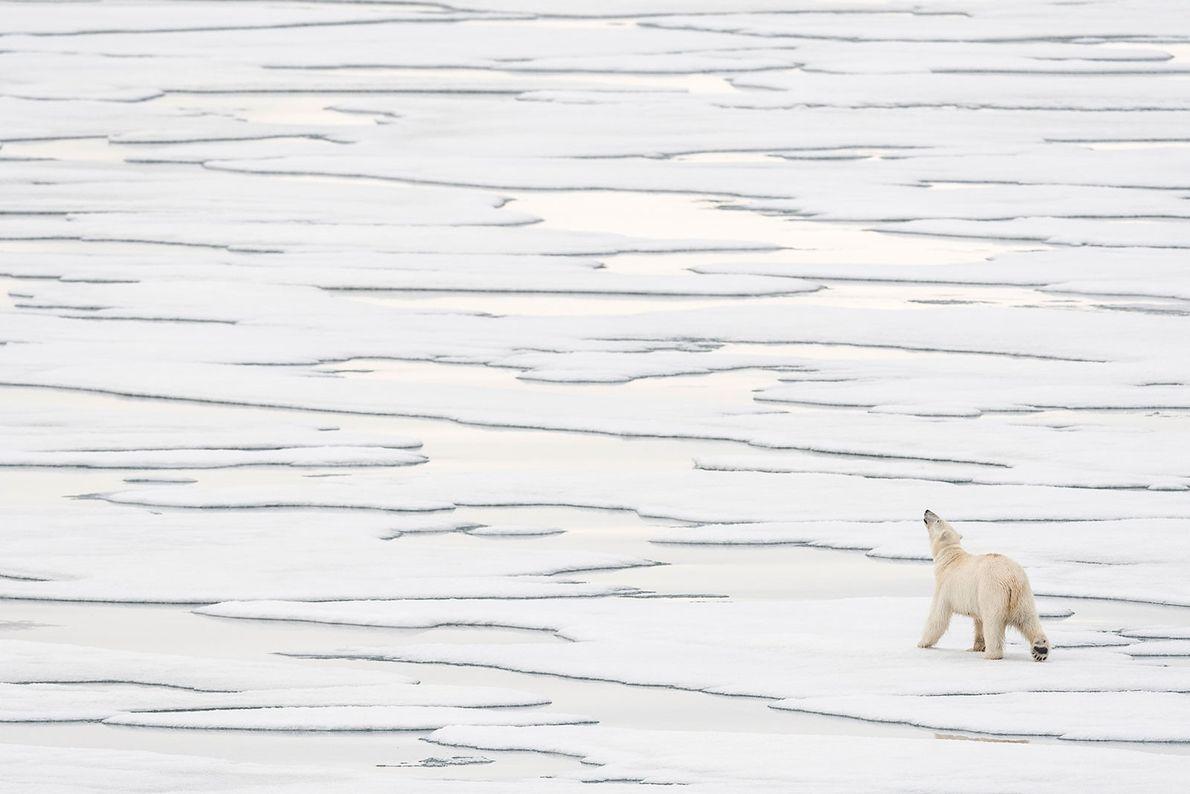 Urso-polar. Svalbard, Noruega.