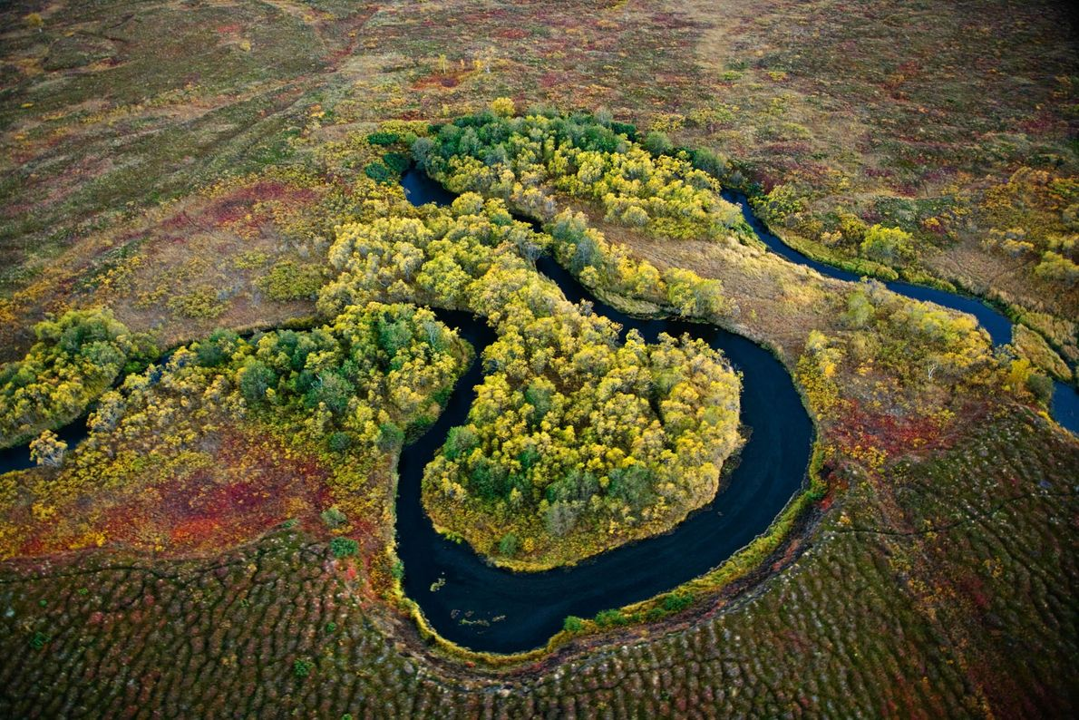 Salmão nada pelos rios sinuosos da Reserva Natural de Kronotsky