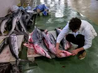 Imagem de cientista e tubarões numa lota portuguesa