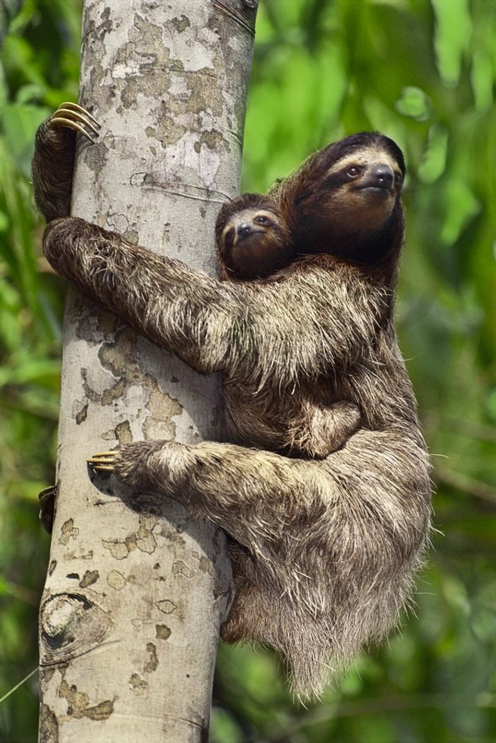 Preguiça agarra-se ao pelo da sua mãe