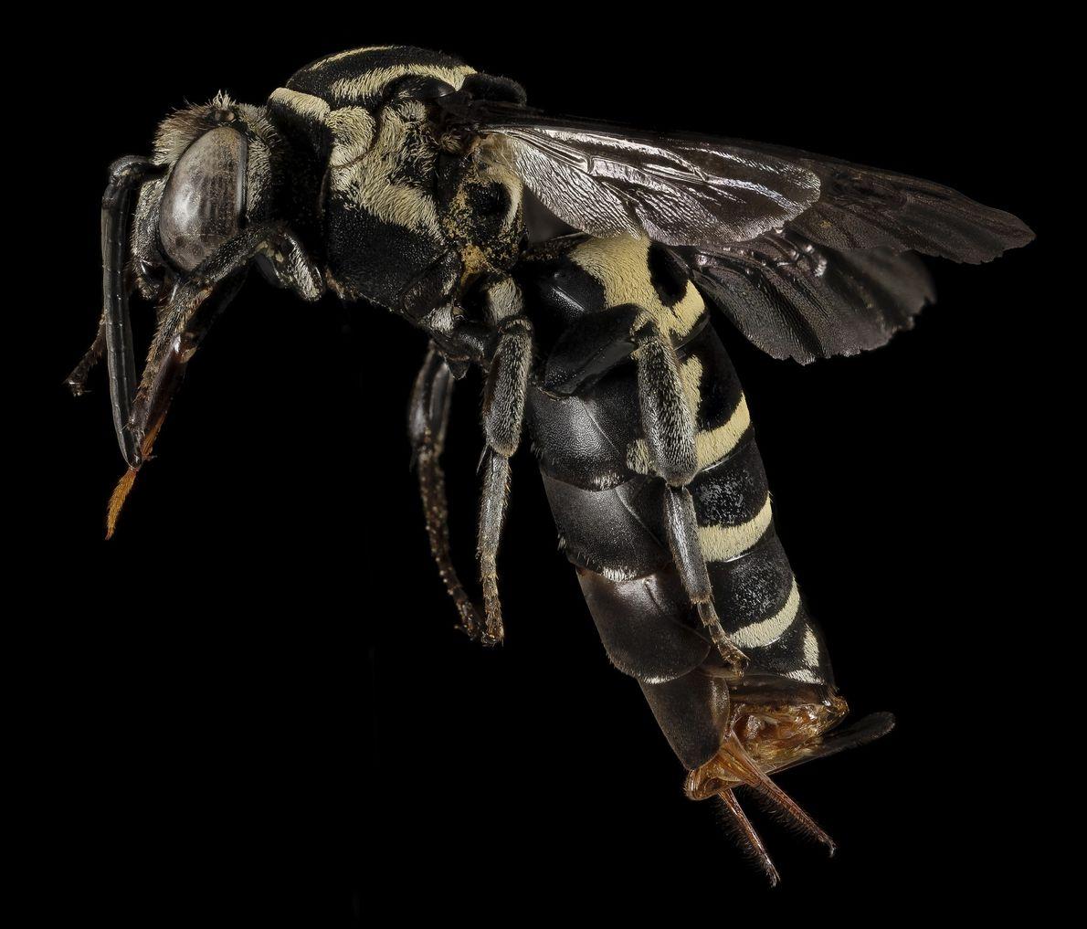 Um espécime raro de Triepeolus monardae foi avistado por um investigador.