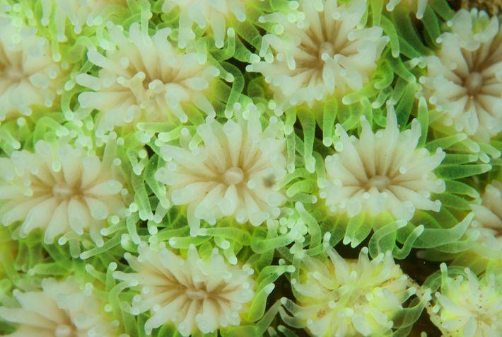 Pólipos de coral