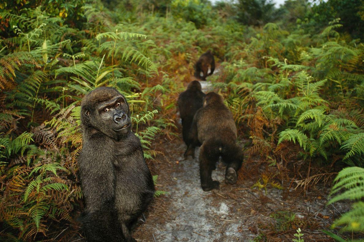 Bangha, um gorila orfão