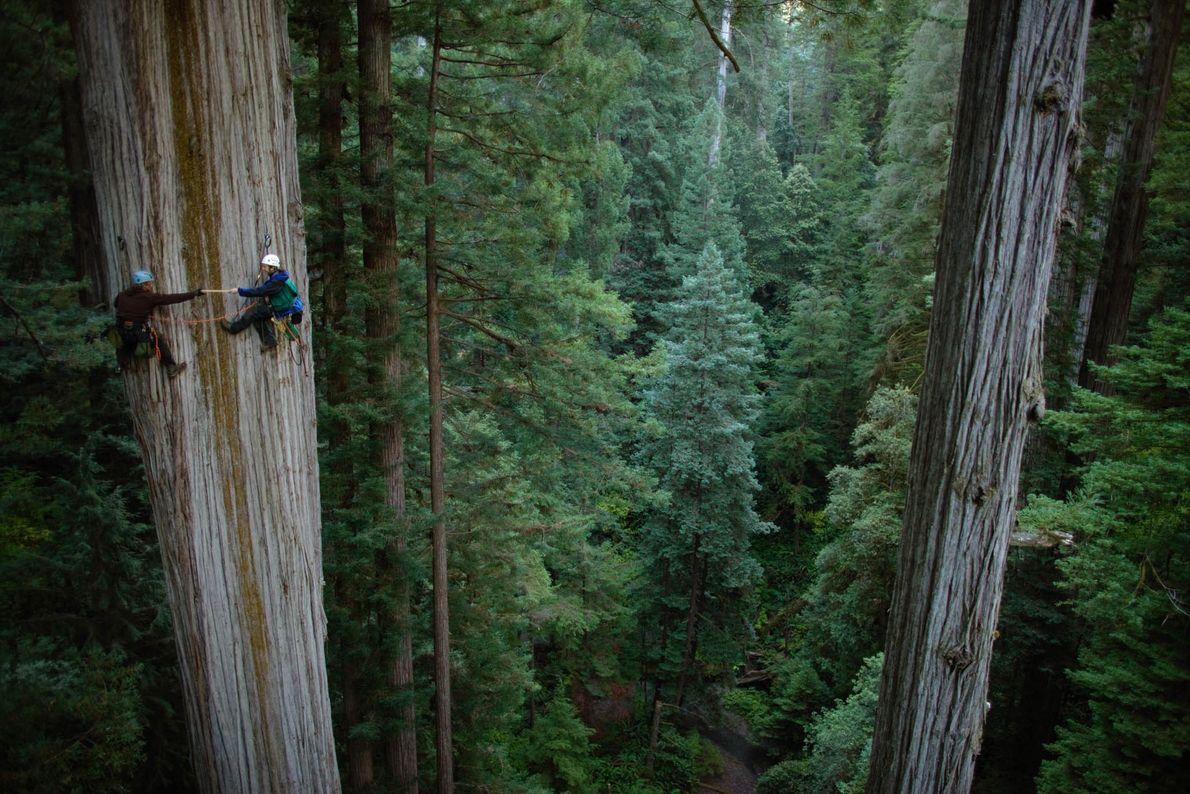 árvore gigante de cerca de 106 metros