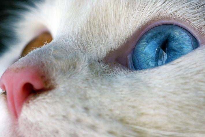 Gato Doméstico, Ontário