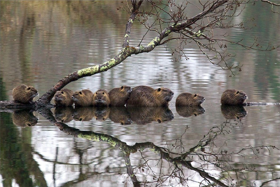 Família de Caxinguis, França