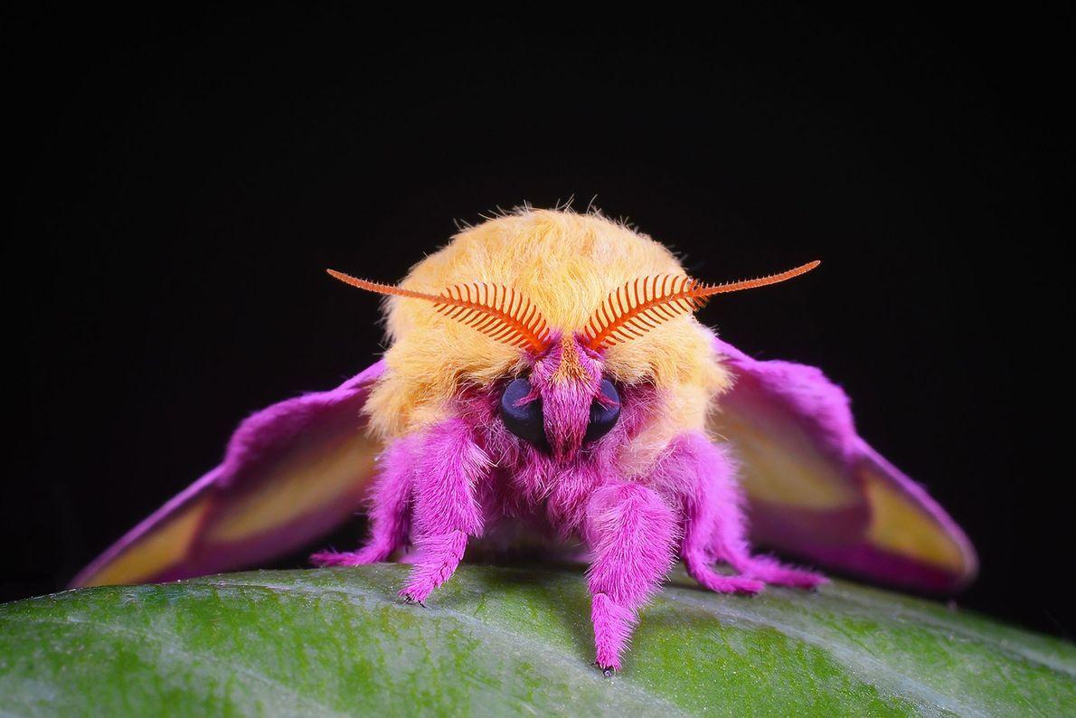 Dryocampa rubicunda. Evington, Virgínia, Estados Unidos da América.