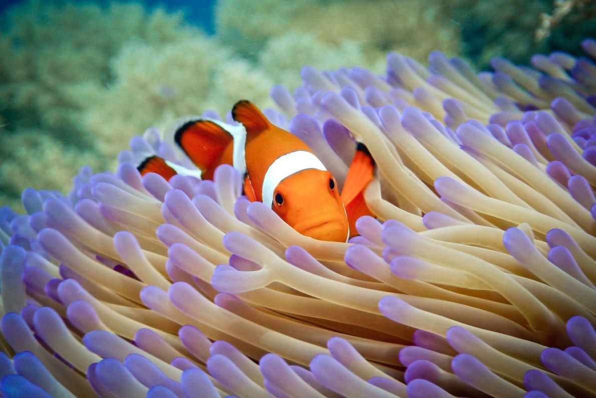 Peixe-palhaço Pulau Menjangan, Bali, Indonésia.
