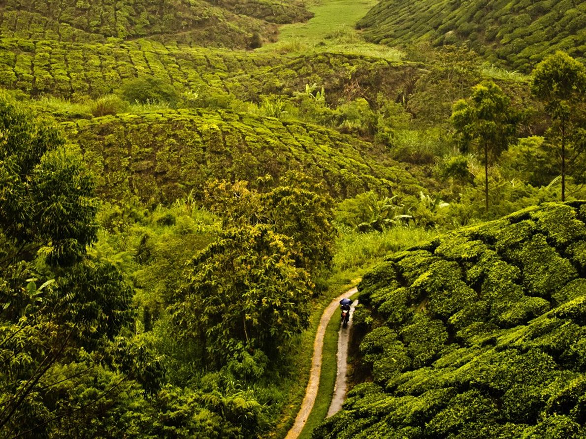 Plantação de Chá, Malásia