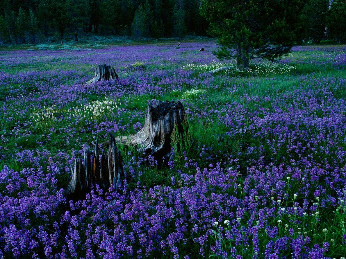 Penstemons, Floresta Nacional de Tahoe
