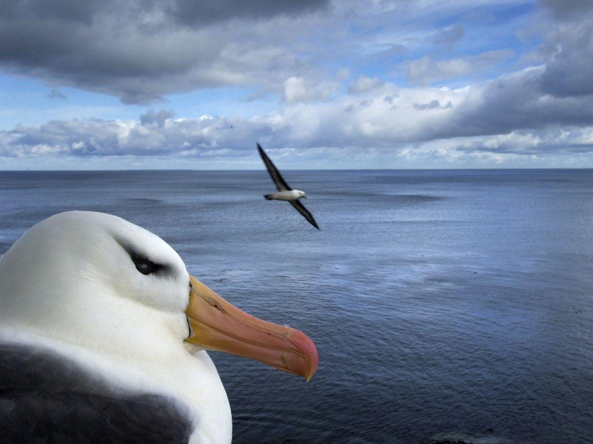 Albatroz, Falkland Islands