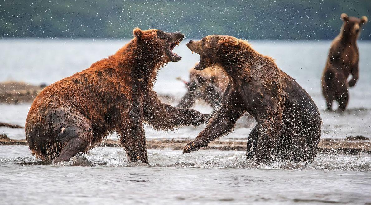 Ursos-pardos-de-kamchatka. Kamchatka, Krasnodarskiy, Rússia