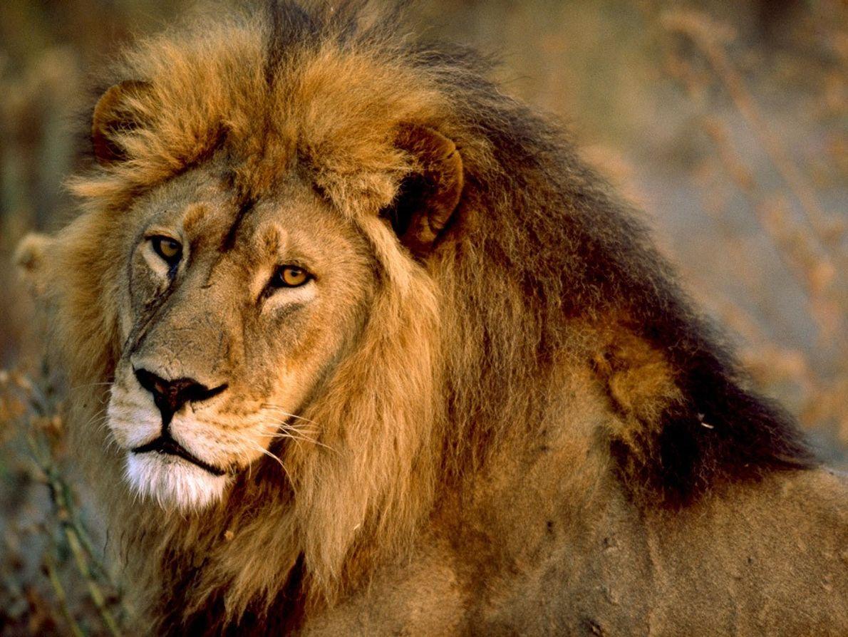 Ferozmente protetores dos seus grupos, ou unidades familiares, os leões macho patrulham um extenso território, cobrindo, ...