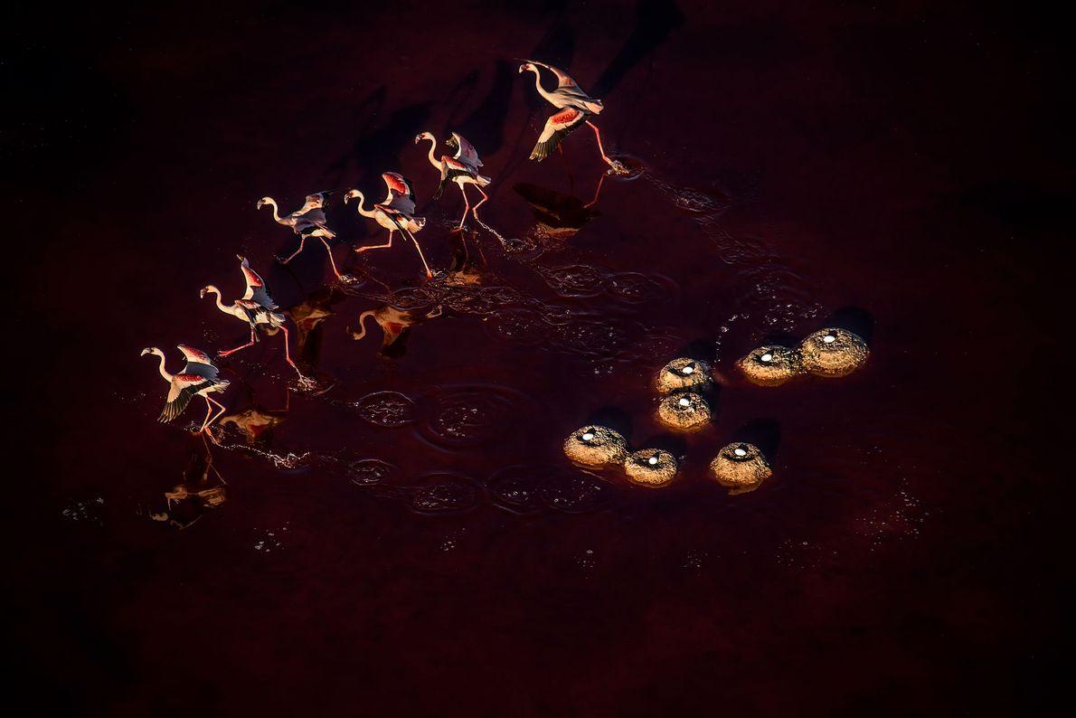 Flamingos. Tanzânia