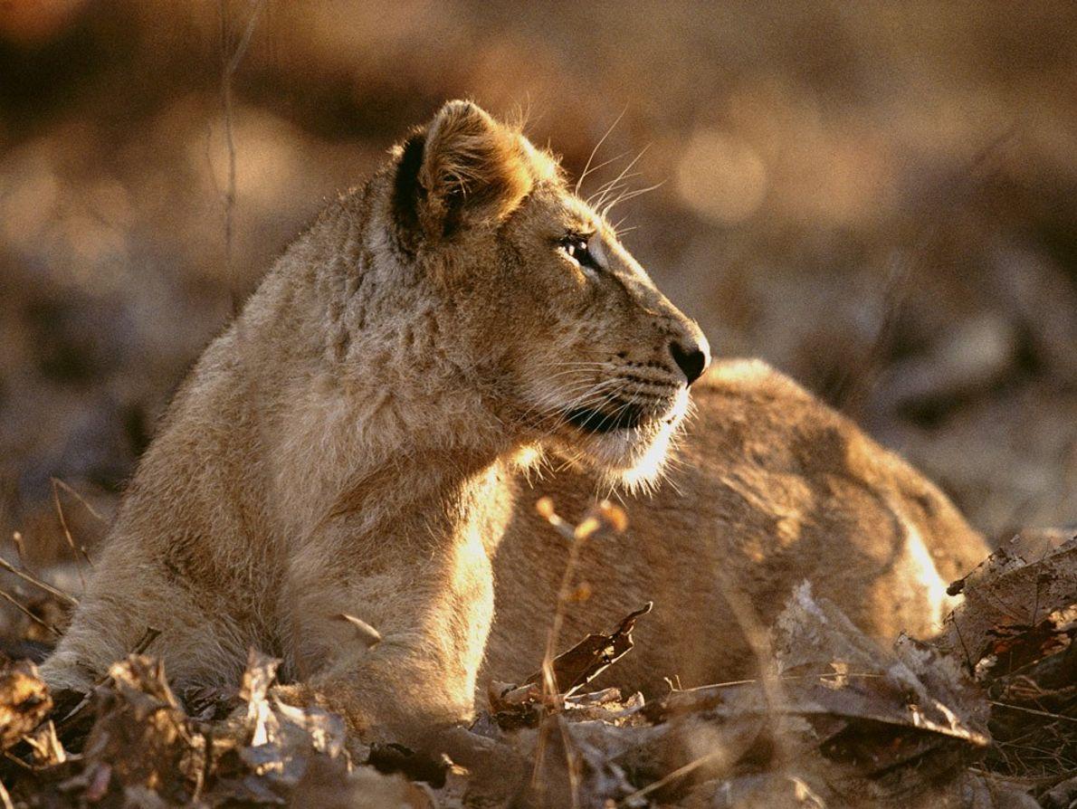 Restam apenas cerca 200 leões-asiáticos em estado selvagem. Antiga reserva real, a floresta de Gir é ...