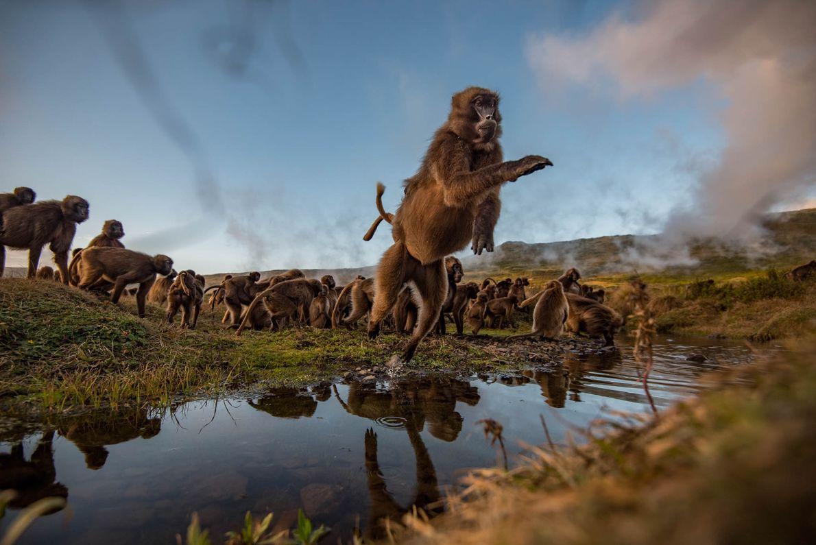 Um babuíno-gelado salta