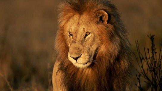 Os leões encontram-se ameaçados em toda a sua área de distribuição africana. Mas em nenhum outro ...