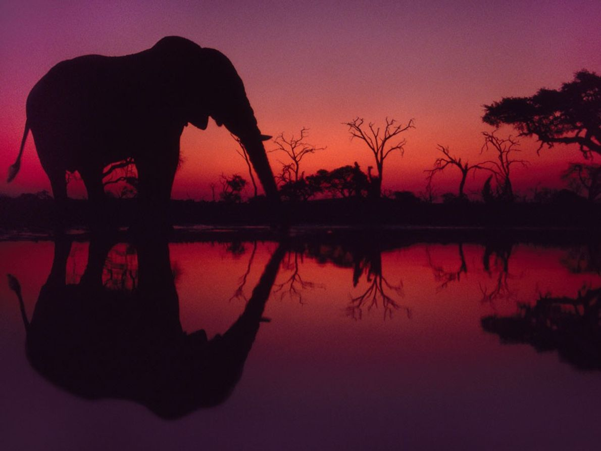 Elefante Africano, Botsuana