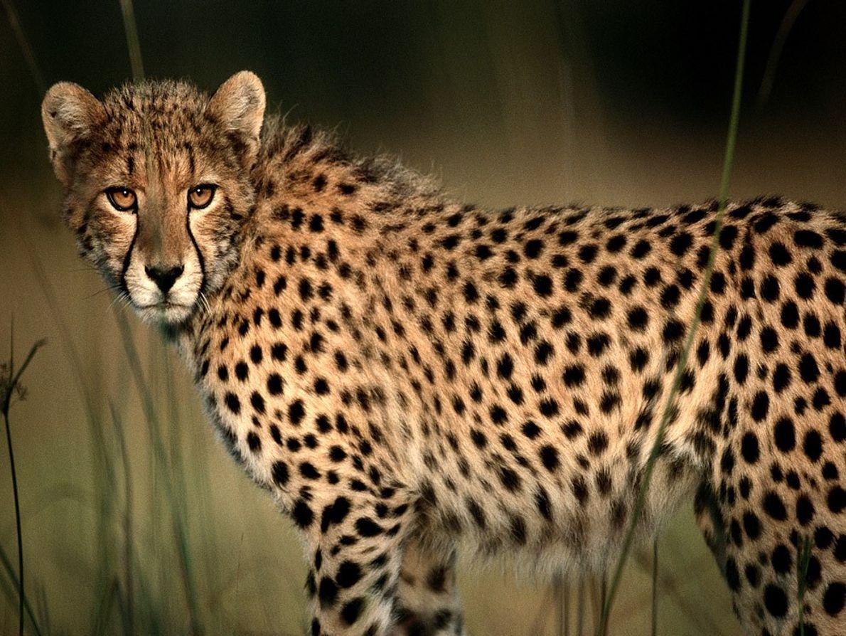 Visão apurada e alta velocidade fazem da chita um caçador temível.