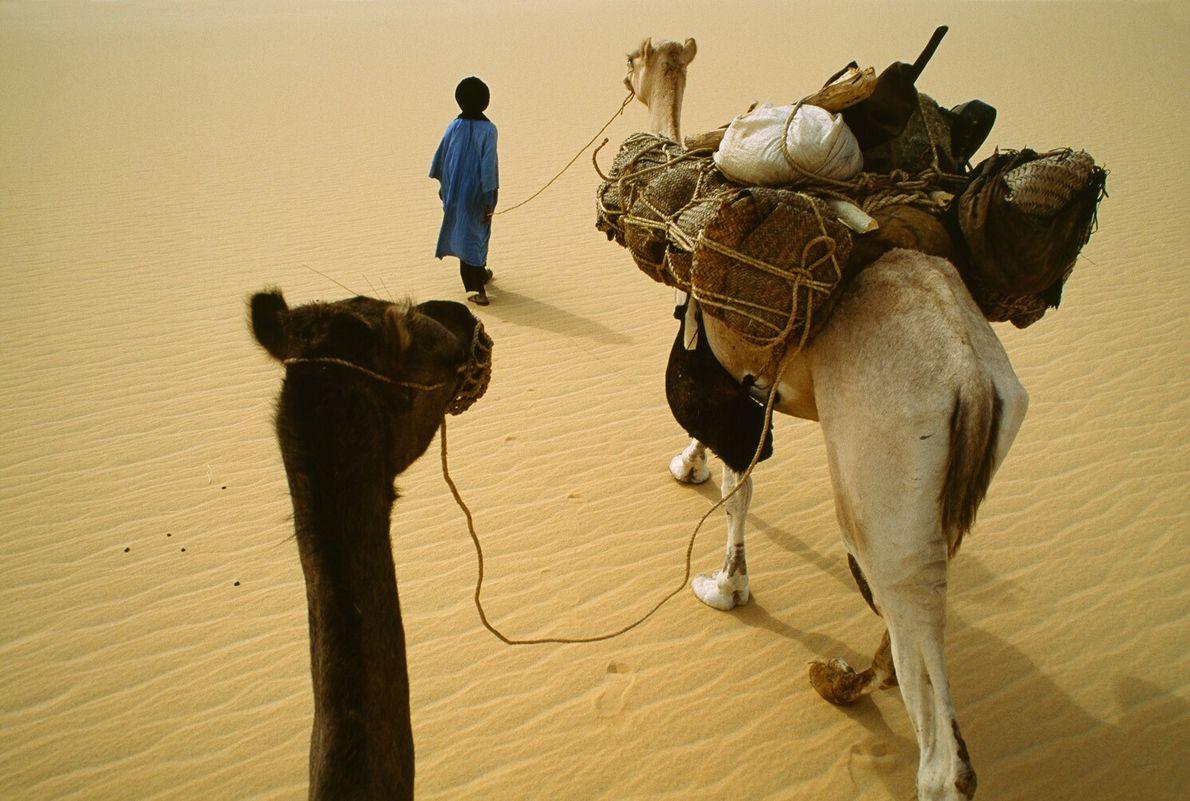 tuaregue conduz camelos dromedários