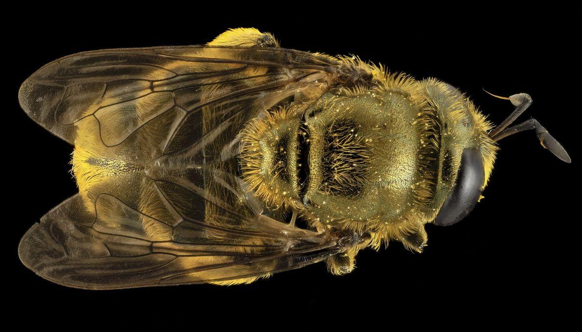 Uma mosca Microdon disfarçada de abelha.