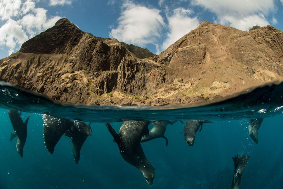 Os leões-marinhos de Juan Fernández