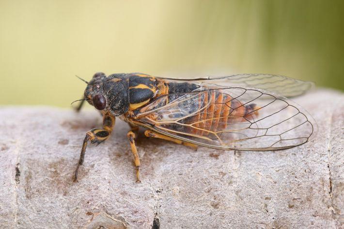 Uma cigarra, Pseudotettigetta melanophrys, a descansar num tronco de pinheiro no Alto Atlas.